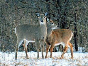129 Deer in WinterJennifer Peiffer Seneca County