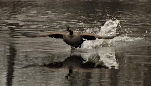 4Geese In Flight Shelli Butler   Oswego County