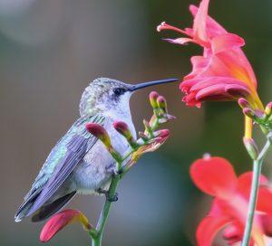 32Hummingbird & CrocosmiaNancy Stewart Onondaga County