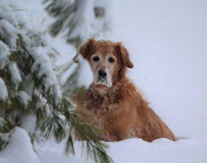 6Maggie in snow David Phelps  Schuyler  County