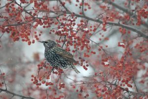 52Winter Starling in crabapple treeNorma Davis Ontario County