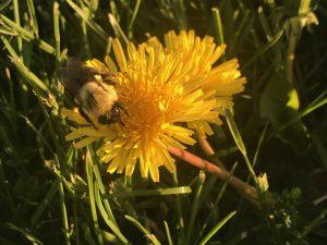 54Bumble Bee on FlowerTyler Dibble Oneida  County