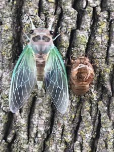 44 Cicada Amy Barany Onondaga County