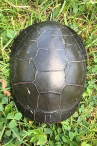 60Turtle-y AwesomeAlvin Trang Onondaga County