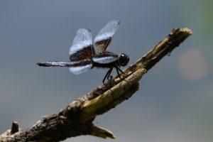 91 Dragonfly in BlueJames Marlowe Onondaga County
