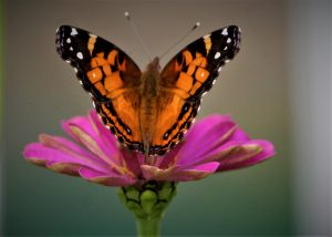 35Painted Lady ButterflyDavid Phelps Ontario County