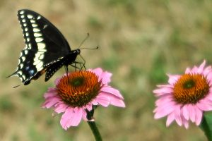 98A Swallowtail Moment Judy CookOnondaga County