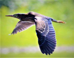 25Green Heron in FlightDavid Phelps Schuyler County