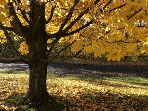 62Under the golden Maple tree Michael Lozar Onondaga County