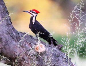 51Sunset Pilated WoodpeckerShelli Butler Oswego County