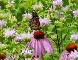 30The Pollinators GardenMark Avery Tompkins County