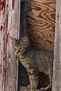 77 Barn KittyMelanie Shum Ontario County