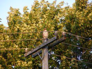 41Red-tailed Hawk Richard Reiter Onondaga County