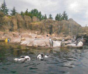 73 Rubber Ducky Visits the Humbolt PenguinsRebekah Tanner Onondaga County