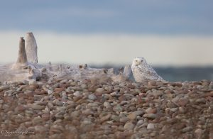 72Snowy Owl RestingSarah BlodgettWayne County