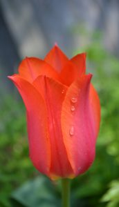 69Weeping TulipCynthia Bell Madison County