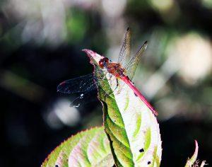 21 Dragonfly Herm Card Onondaga County