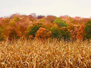 46A cornfield of colorsSusan Jones Oneida County
