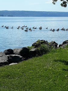 7Geese family doing their morning exercise Teresa Palmer   Tompkins County