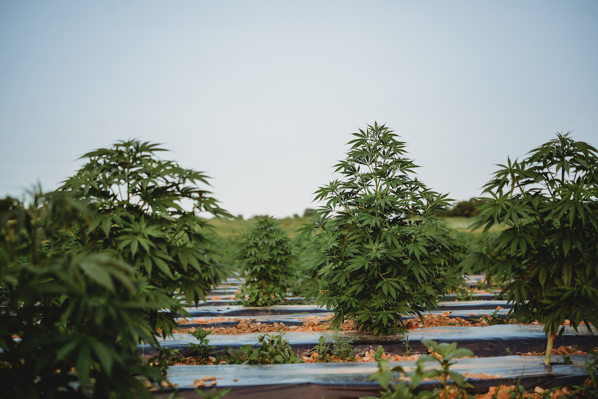 In 2019, state lawmakers and Gov. Andrew Cuomo approved legislation that could pave the way for New York to become a leader in the development of hemp products, including food and drink infused with CBD. (Provided by the New York Cannabis Growers and Processors Association)