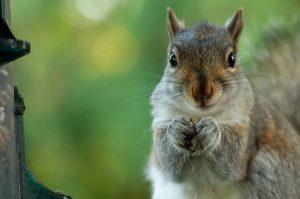 3Staring SquirrelSamantha Samsel  Herkimer County