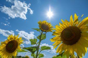 69Dancing SunflowersDaniel Bocchino Madison County