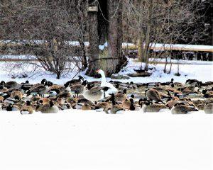 132 Winter at Webster PondHerm Card Onondaga County