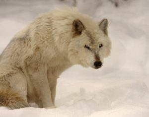 62 Gray Wolf, Onondaga County ZooHerm Card Onondaga County